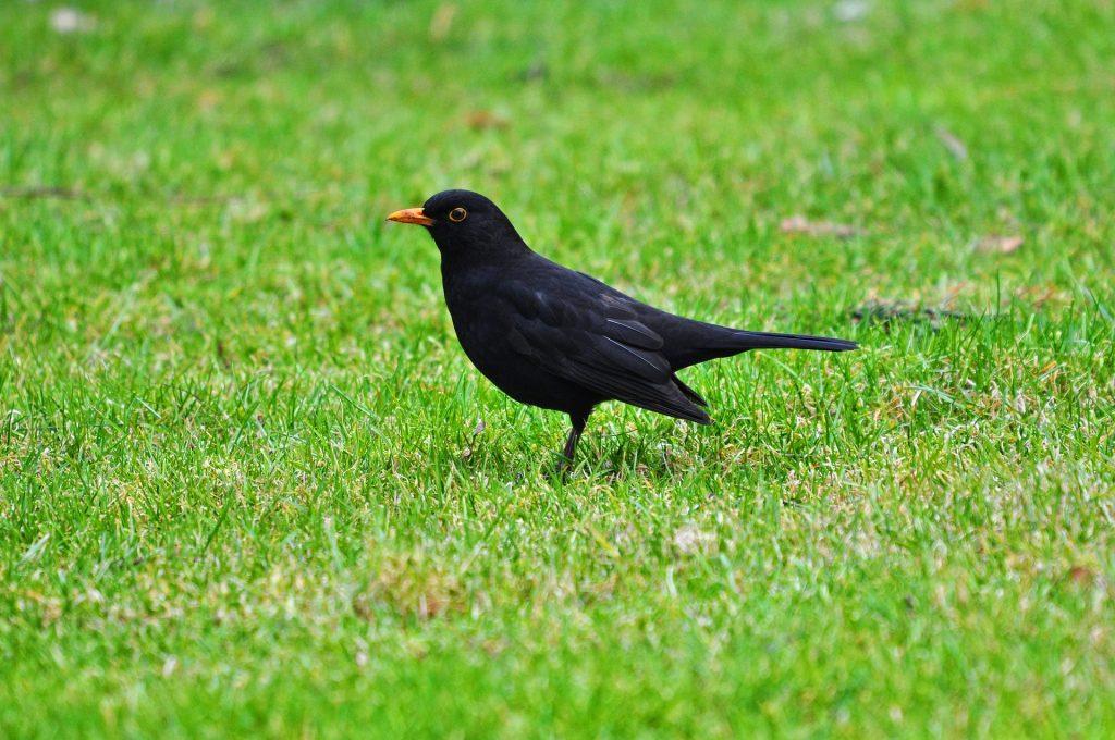 blackbird-3249123_1920